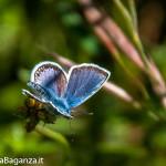 farfalla-icaro-102-argo-azzurro