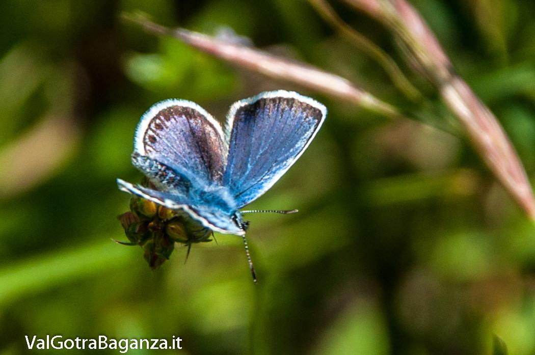 farfalla-icaro-104-argo-azzurro