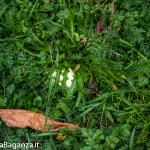 prataiolo-104-agaricus-campestris