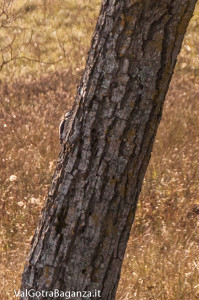picchio-rosso-maggiore-108-valgotra