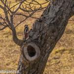 picchio-rosso-maggiore-114-valgotra