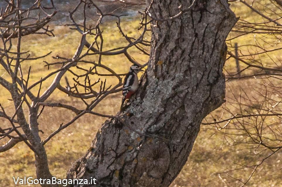 picchio-rosso-maggiore-115-valgotra