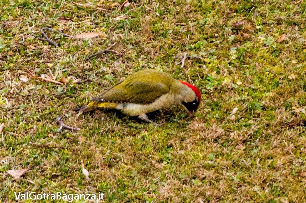picchio-verde-106-picus-viridis