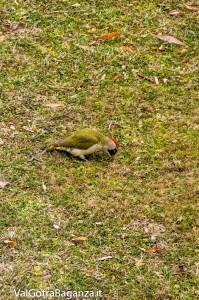 picchio-verde-108-picus-viridis