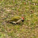 picchio-verde-109-picus-viridis
